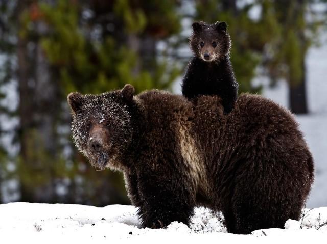 grizzly-bear-cub-snow